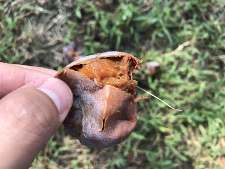 열매 속에서 과육을 먹고있는  유충.JPG