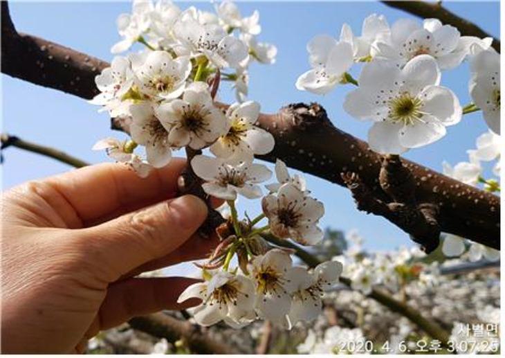 봄철_이상저온_피해예방당부-저은_피해_입은_배_꽃.jpg